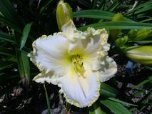 "Daylily, ""Key Lime Ice"" in Byron, Georgia"