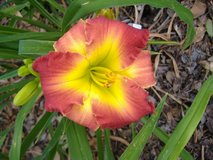 "Daylily, ""Dragon King"" in Warner Robins, Georgia"
